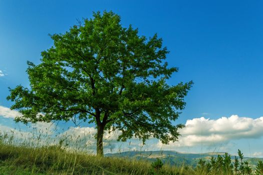 Beautiful lonely tree in the field