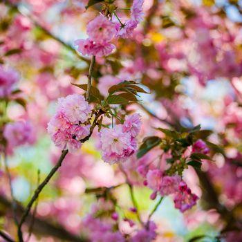 Sakura blooms in spring. Amazing view. Close-up