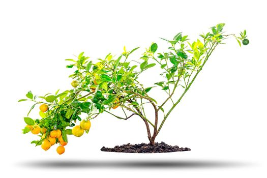 Kumquat tree is a fruit that looks like an oranges but smaller in size, isolated on white background.