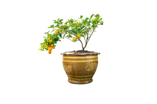 Kumquat tree is a fruit that looks like an oranges but smaller in size in a pot, isolated on white background.