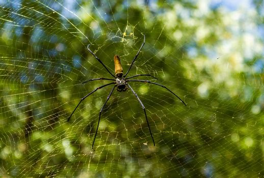 A large northern golden orb weaver or giant golden orb weaver spider Nephila pilipes typically found in Asia and Australia, lichtfield national park