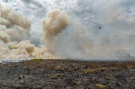 controlled Bushfire in Kakadu National Park, with diffrent birds, Northern Territory, Australia