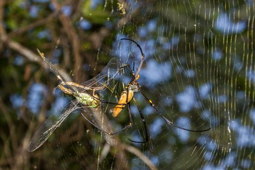 A large northern golden orb weaver or giant golden orb weaver spider is eating his prey. Nephila pilipes typically found in Asia and Australia, kakadu national park