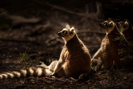Three Nice Lemurs Sitting on the Ground and Enjoying Bright Sun Light. Ring-tailed Lemur. Wild Animals of South Africa.