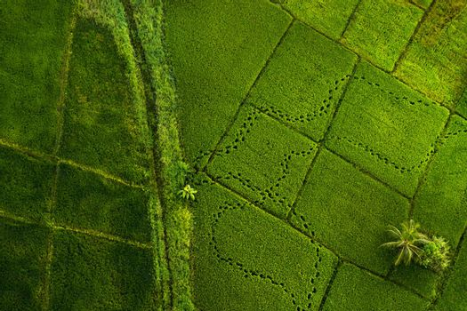 View From Above on Vast Fresh Green Rice Fields. Abstract Natural Background. Traditional Cultivation Crop of Sri Lanka. Sigiriya.