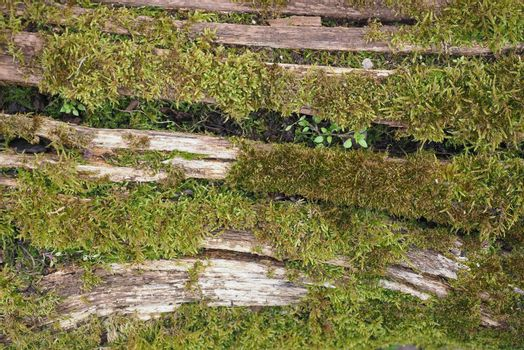 moss (Plantae Bryophyta) plant growing on tree