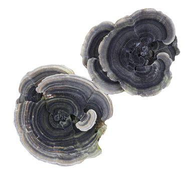 Polypores bracket fungi