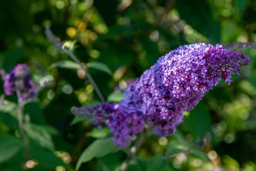 Violet flowers in a bush