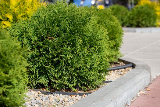 small spherical arborvitae in the park close-up