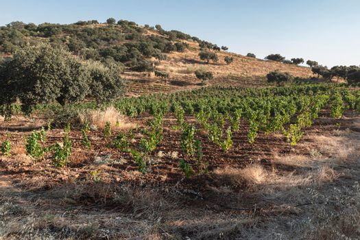 High altitude vineyards, in the south of Spain, production of red wine