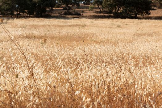 agricultural landscapes of cereals in the countryside in southern Andalusia with a clear sky