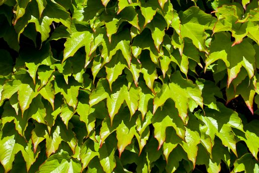 Green leaves pattern background. Natural background and wallpaper.
