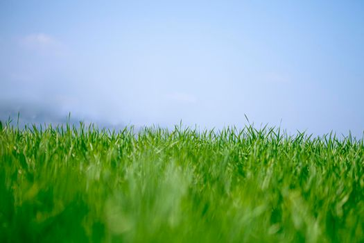 Field of green fresh grass and blue sky background,