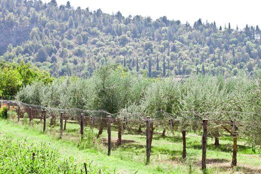 Olive trees plantation.Italy.