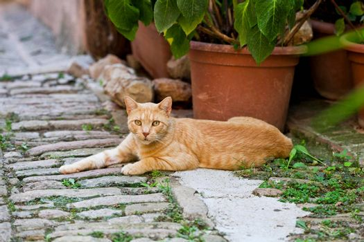 Beautiful red cat lies on brick ancient street in a small Italian town