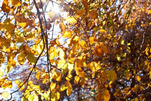 Yellow beautiful golden leaves in fall with sunlight. Monte San Vicino, Marche, Italy.