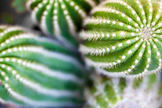 Cactus macro image, selective focus.