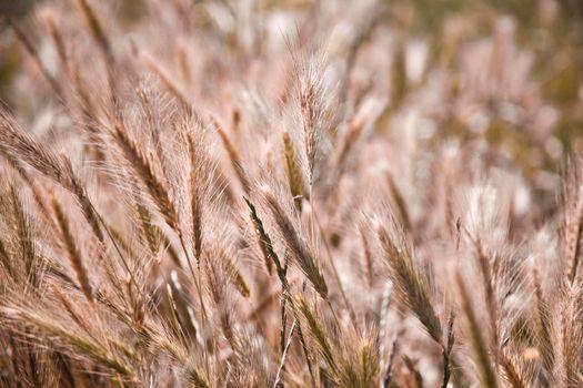 Golden ripe ears of wheat in field, soft focus.