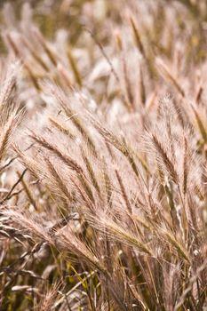 Organic golden ripe ears of wheat in field.
