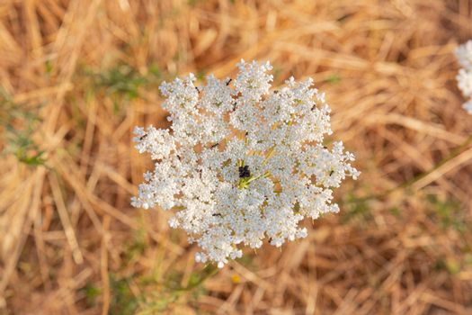 White wild flower with ants in southern Andalusia