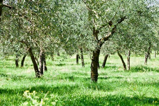 Olive trees plantation.