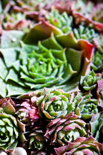 Arrangement of the succulents with water drops overhead.
