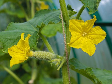 Flowering cucumbers in a greenhouse on a plot of land in Russia