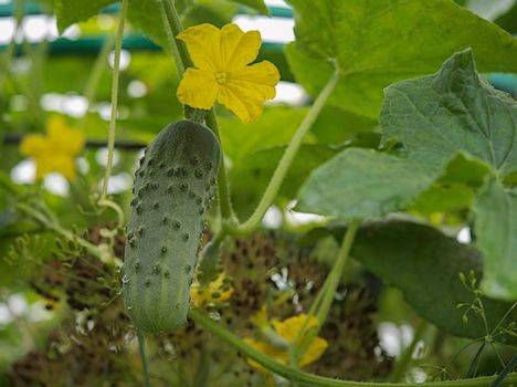 Cucumbers in the greenhouse on the plot in Russia