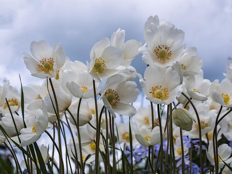 Anemone is a genus of perennial herbaceous plants
