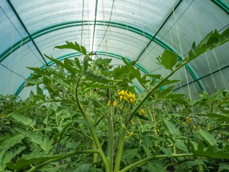 Flowering tomatoes in the greenhouse on the plot