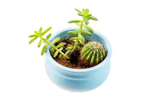 Various types of small homemade succulents and cactus in a blue pot top side view isolated on white background