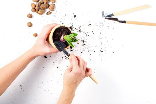 Female hands are holding a flower pot with a plant in the process of transplanting, gardening tools and expanded clay are lying next to the table, a concept for home gardening.