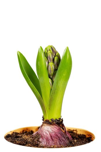 Close-up view of unblown hyacinth with green leaves and closed buds in a flower pot isolated on white background