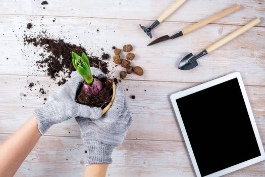 Female hands are holding a flower pot with a plant in the process of transplanting, gardening tools and gloves are lying next to the table, the concept of online learning home gardening.