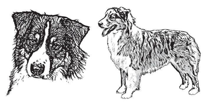australian shepherd illustration
