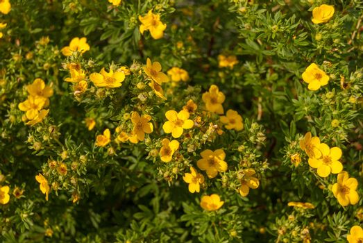 Blooming shrubby cinquefoil Kuril tea shrub, and it is a herbaceous shrub