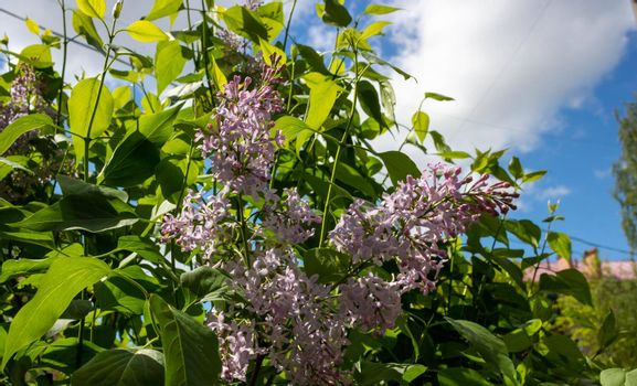 Blooming lilac against the sky. Beautiful purple lilac flowers outdoors. Lilac flowers on the branches