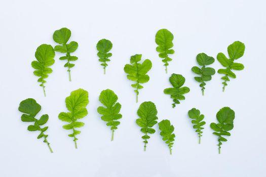 Radish leaves on white background.
