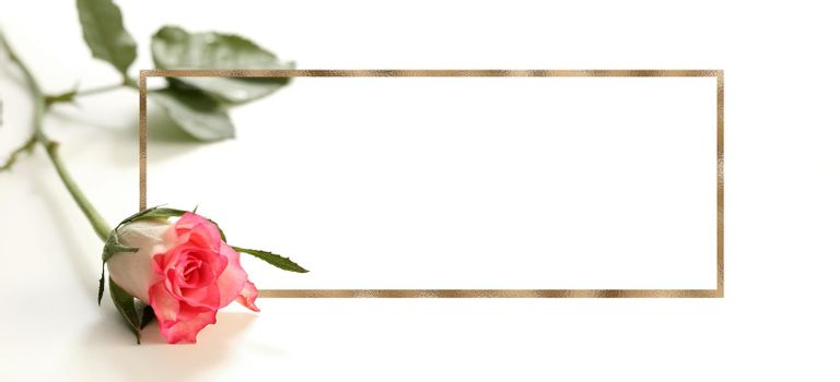 Closeup red pink rose flower on white background. Golden frame as mock up