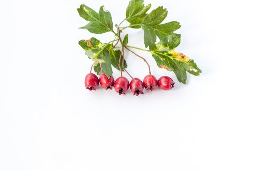 A sprig of red hawthorn on a white background.