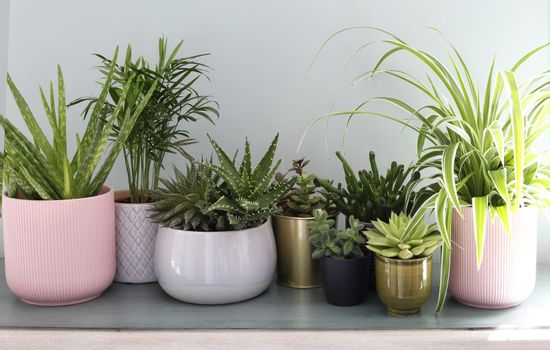 House plants display. Indoor plants on shelf with morning sun beams. Collection of various succulent plants in different pots. Potted cactus house plants on shelf against pastel green wall.
