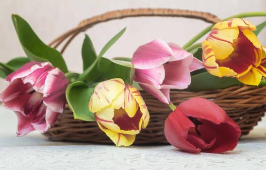 A bouquet of beautiful red, pink and yellow tulips in a wicker basket. Presented in close-up