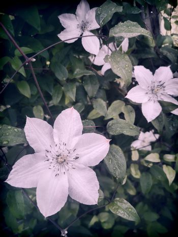 Beautiful white clematis flowers in the garden on a background of green leaves. Presented in close-up.