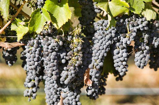Close up shot of Grapes in vineyard