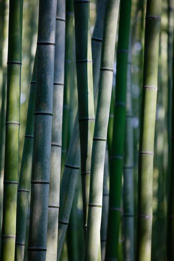 Close up of bamboo vines