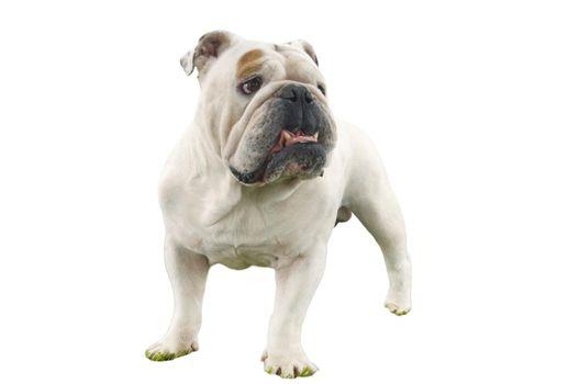 Cutout of British Bulldog on white background