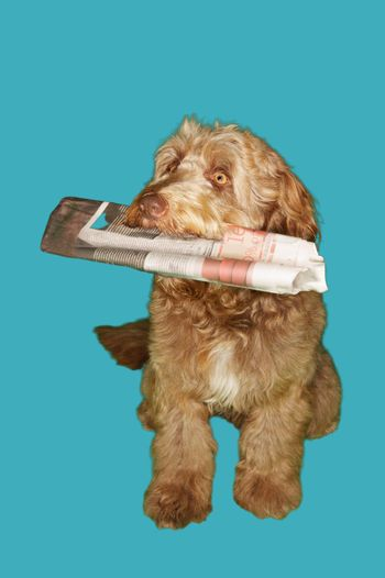 Dog Carrying Newspaper in Mouth
