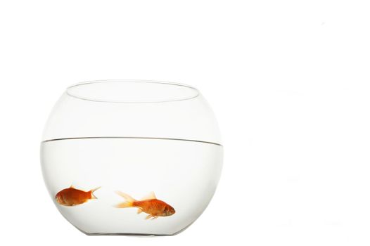 Two goldfish in bowl