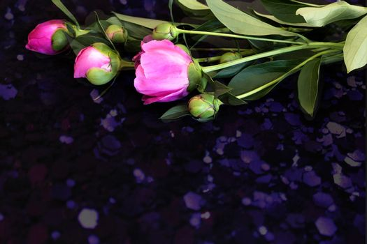 Beautiful pink flowers and buds of peonies surrounded by green leaves on a black background.