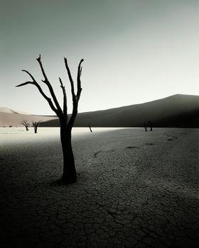 Arid landscape tree in desert
